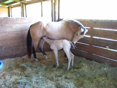 Successful Foaling with Halter Foaling Monitor, Grants Pass, OR